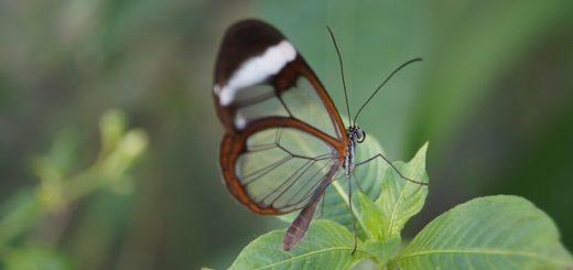 farfalla-trasparente