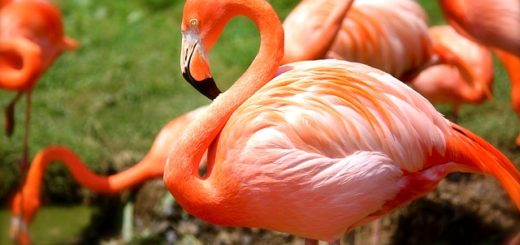fenicottero-rosa