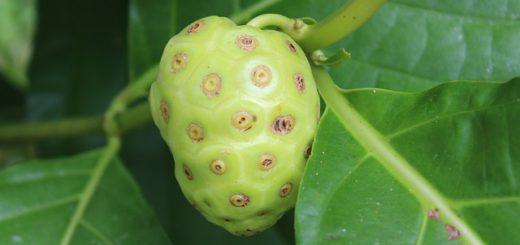 morinda-citrifolia