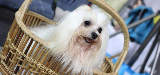 mostra-canina